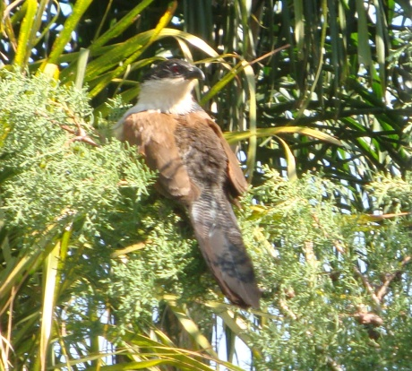 Burchell's Coucal enjoying a sunny spot.