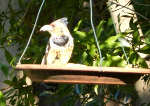Crested Barbet looking for lunch.