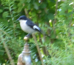 Southern Boubou has only appeared in the last few years.