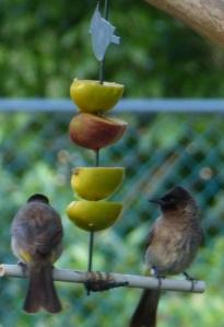 Bulbuls sharing a fruit salad.