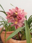 Garden office pink cymbid